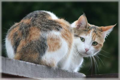 Timid Calico, last seen 2011. © Colehaus Cats.