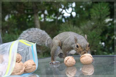 Einstein the Squirrel stealing walnuts. © Colehaus Cats.
