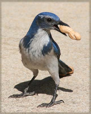 Colehaus Cats - Scrub Jay with Peanut. © Colehaus Cats