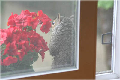 Squirrel at the Window. © Colehaus Cats.
