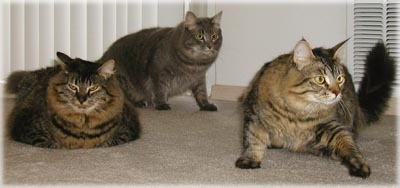 Cameron's feral siblings. © Colehaus Cats.