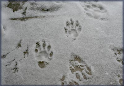 Visitor footprints. © Colehaus Cats.