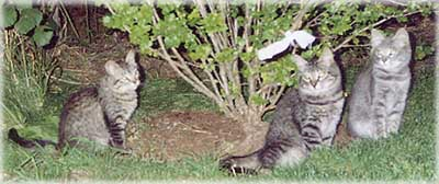 Cameron feral kitten family - 2000. © Colehaus Cats.